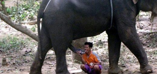 Il suce une bite d'éléphant