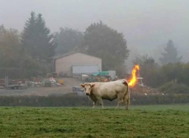 Les vaches qui pettent